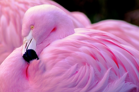 Chilean Flamingo, Chilean Beauty