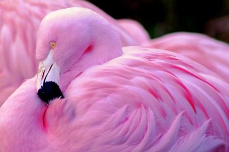Chilean Flamingo, Chilean Beauty