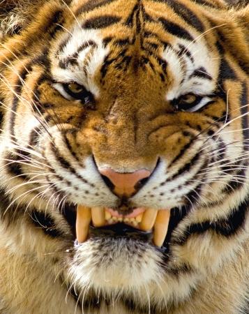 animal eye: Siberian Tiger Snarl