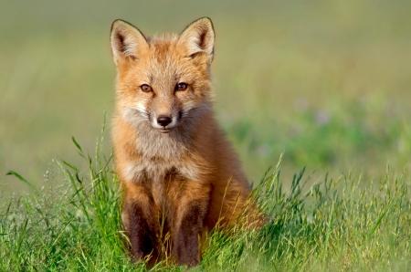 fox: Fox Kit, San Juan Islands   Curious Little Kit