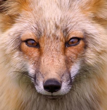 animal fox: Wild Red Fox San Juan Islands, Foxy