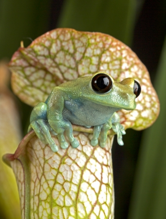 Maroon Eyed Tree Frog on Pitcher Plant