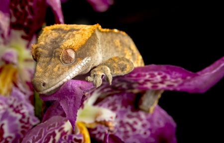 crested gecko: Crested Gecko on Purple Orchid