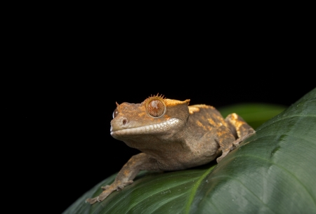 crested gecko: Crested Gecko on Folliage