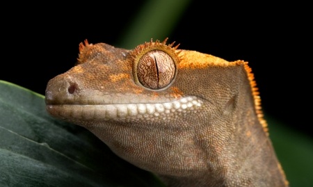 crested gecko: Crested Gecko Head