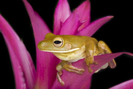 tree frog: Bright Perch, Giant Tree Frog on pink Bromeliad