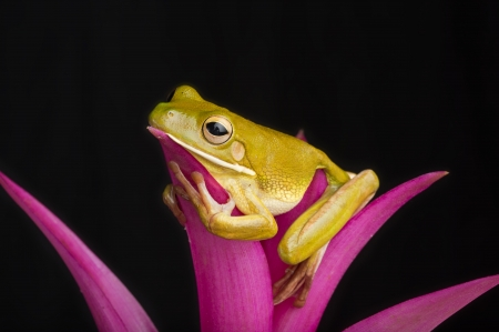 bromeliad: Rainforest Lounge, Giant Tree Frog Relaxes on pink bromeliad