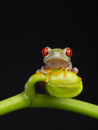 tree frog: Baby Red Eye climbing Orchid Bud