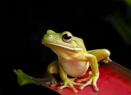 tree frog: Forest Perch, Giant Tree Frog hunting at night