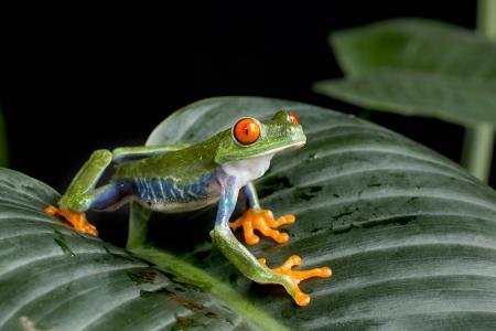bright eyed: Red Eyed Tree Frog on Green Foliage
