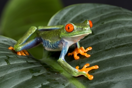 Red Eyed Tree Frog Shows off Colors Archivio Fotografico
