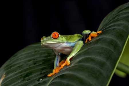 tree frog: Red Eyed Tree Frog Stock Photo