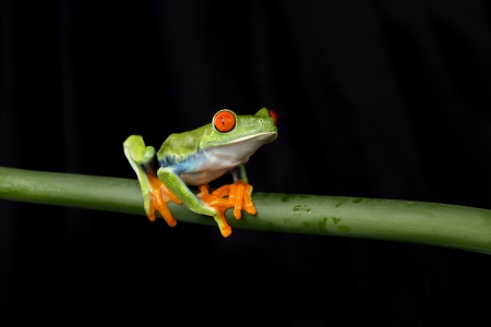 red eyed tree frog: Red Eyed Tree Frog on Stem