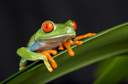 Red Eye Tree Frog Standard-Bild