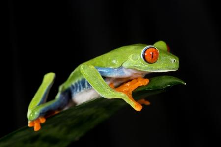 red eyed leaf frog: Red Eyed Tree Frog on Leaf