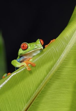 Red Eyed Tree Frog climbing green leaf Archivio Fotografico