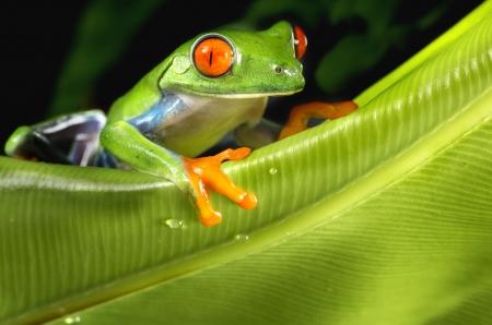 bright eyed: Red Eyed Tree Frog on Foliage