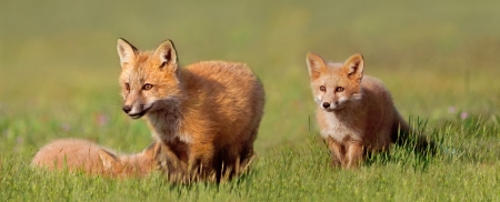 Young Fox Kit s at Play Standard-Bild