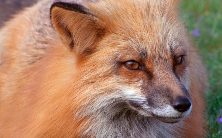 canid: Red Fox