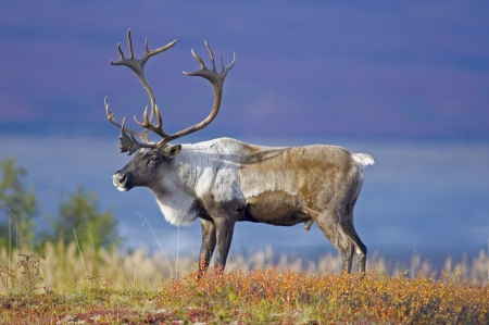 caribou: Male Caribou Grazing on Toklat River Basin