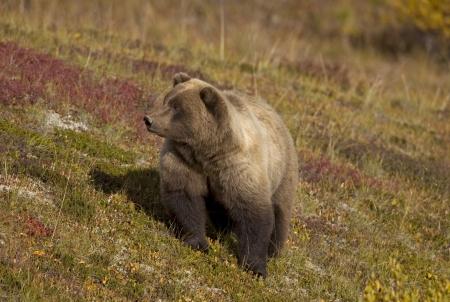 Brown Bear on Tundra Archivio Fotografico