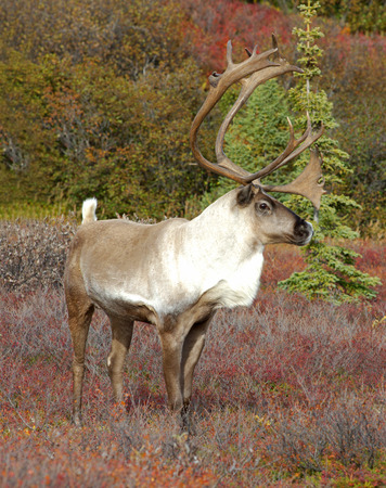 Male Caribou in Fall