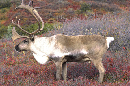 caribou: Male Caribou on Red Fall Tundra