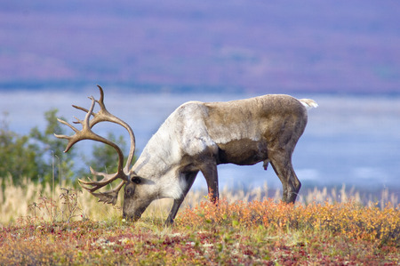 caribou: Caribou Grazing on Fall Tundra Stock Photo