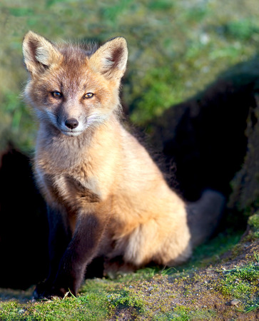 Baby Fox Archivio Fotografico