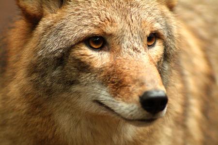 Coyote Close Up Archivio Fotografico