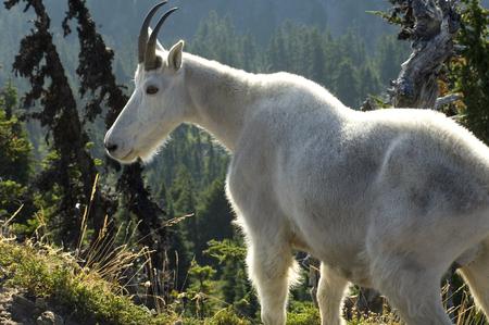billy: Mountain Goat