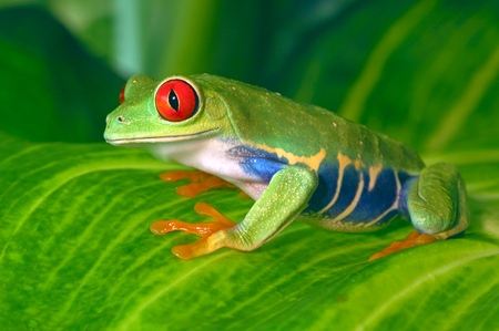 Red Eyed Tree Frog on Leaves