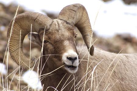 Bighorn Ram Grazing