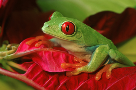 De rode Eyed Kikker van de Boom op Rood gebladerte