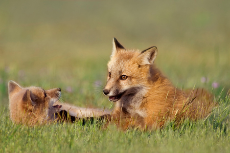 canid: Baby Foxes Playing Stock Photo