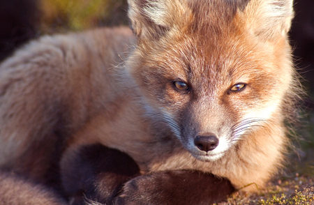 hunted: Young Fox