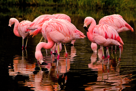 poaching: Chilean Flamingos Feeding