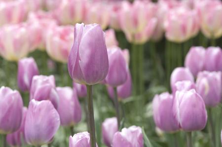 Lavender Tulips Archivio Fotografico