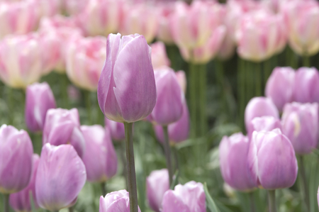 Lavender Tulips Standard-Bild