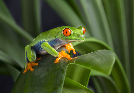 red eyed leaf frog: Red Eyed Tree Frog on Green Leaves