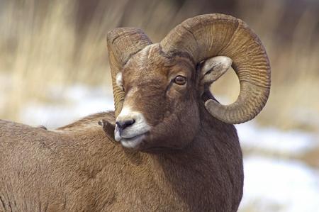 rocky mountain bighorn sheep: Bighorn Sheep Ram Stock Photo
