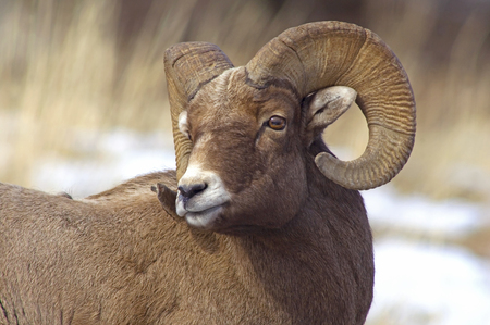 Bighorn Sheep Ram Archivio Fotografico