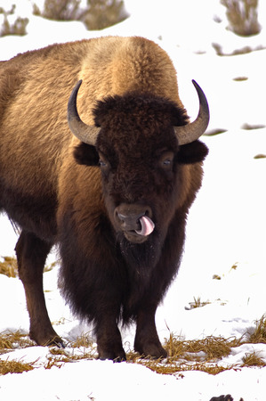 American Bison, Licking like it just Don't Matter