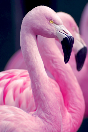 tropical bird: Chilean Flamingos