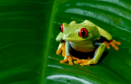 red eye frog: Red Eye Tree Frog sitting on leaf Stock Photo
