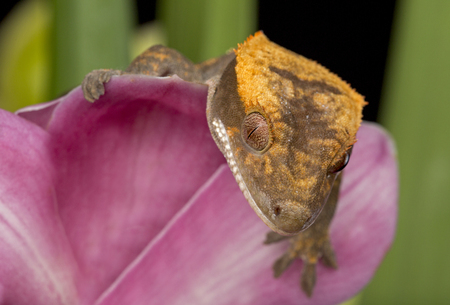 Gecko Peeking Over Orchid Standard-Bild