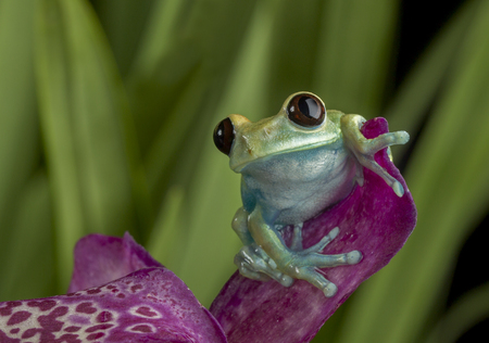 agalychnis: Maroon Eyed Tree Frog on Orchid Stock Photo
