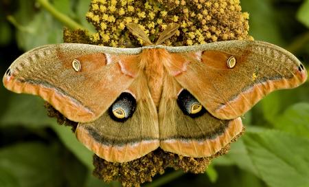Orange moth feeding on Yarrow bloom