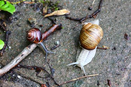 Hermaphrodite: The big white snail on the ground Stock Photo