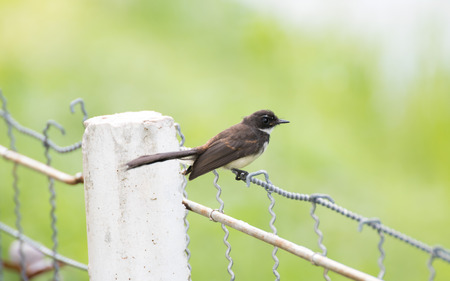 pied: Malaysian pied fantail perching on a sling